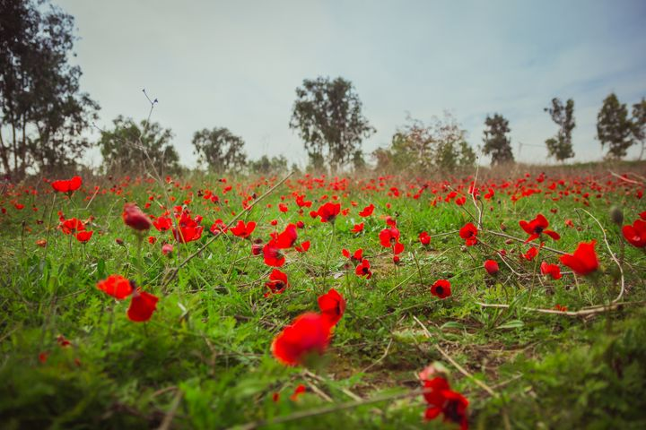 Field of red anemones - Maor Winetrob