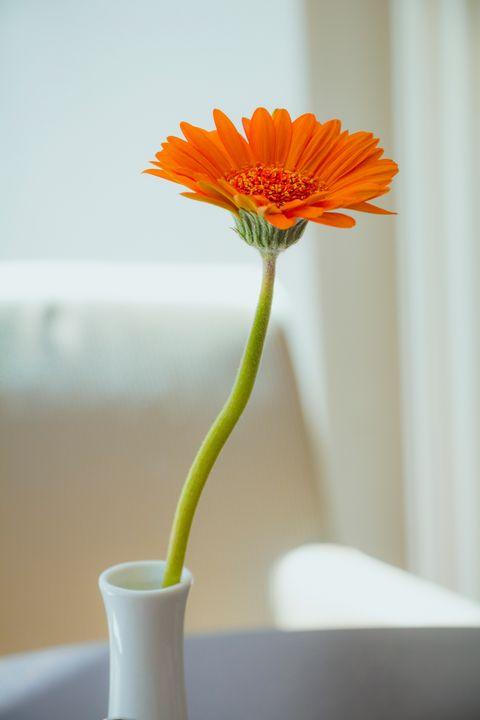 Orange gerbera flower in white vase - Maor Winetrob