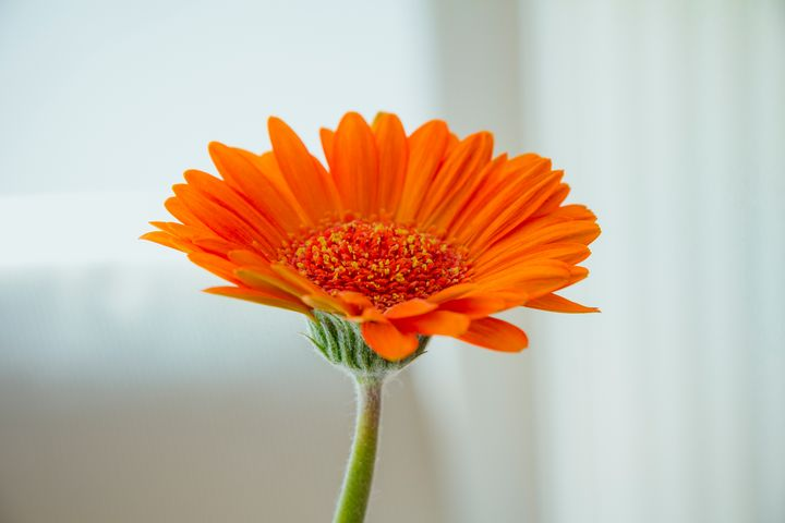 Orange gerbera flower - Maor Winetrob