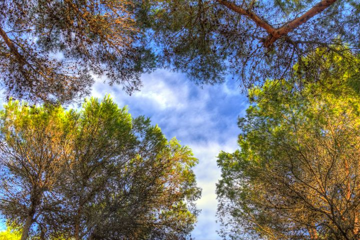 Pine trees with vibrant color - Maor Winetrob