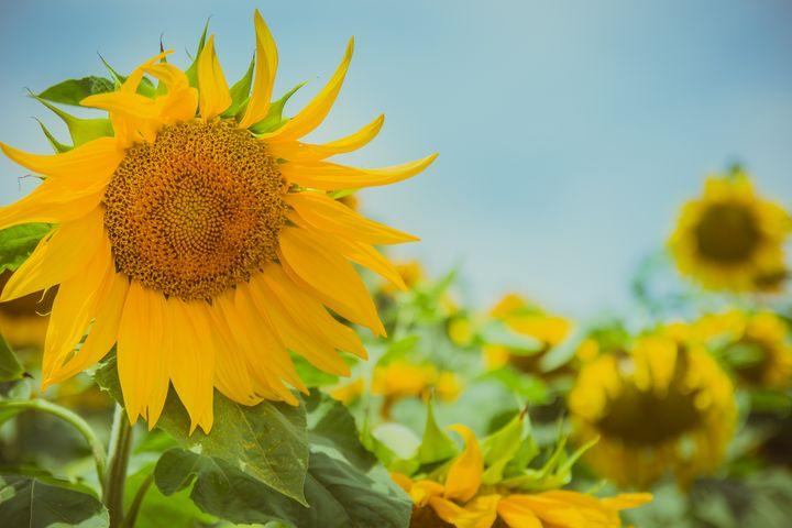 Sunflower in sunflower field - Maor Winetrob