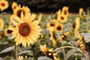 Hawaiian Sunflower Field