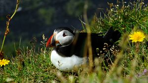 Atlantic puffin - Nameless