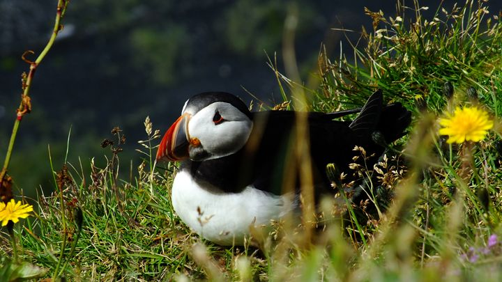 Atlantic puffin - Nameless