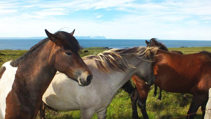 Icelandic horses - Nameless