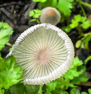Delicate Mushroom - S. Sarlouis Designs