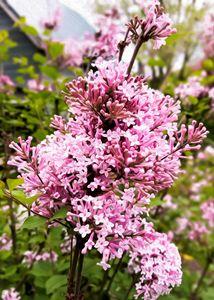 Pink Lilac - S. Sarlouis Designs