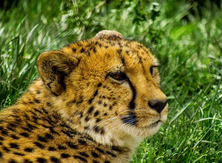 Cheetah - S. Sarlouis Designs