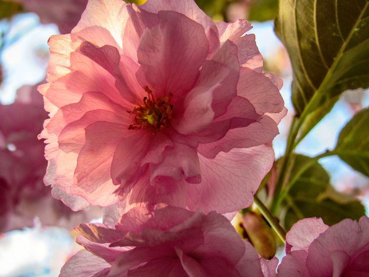 Backlit Blossom - S. Sarlouis Designs