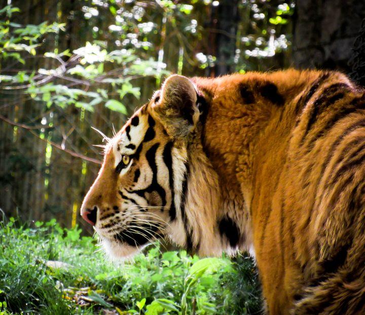 Tiger Tiger - S. Sarlouis Designs