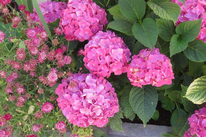 Hortensia Hydrangea - Lumiart