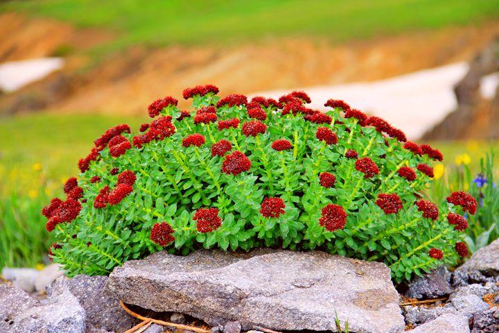 Colorado Wild Flower - Falconz Eye Imagery