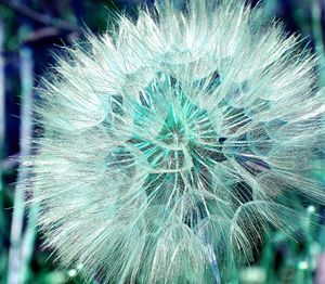 Blue Green Dandelion