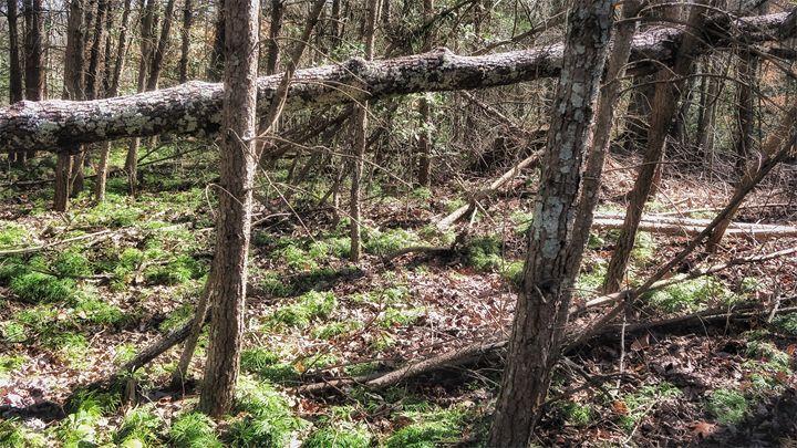 Fern Forest - Vicki Lloyd