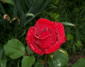 morning dew red rose