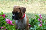 baby girl boxer enjoying the pretty