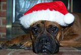 Bella the boxer waiting in front of