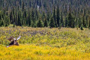 A lazying moose - Aditon Art