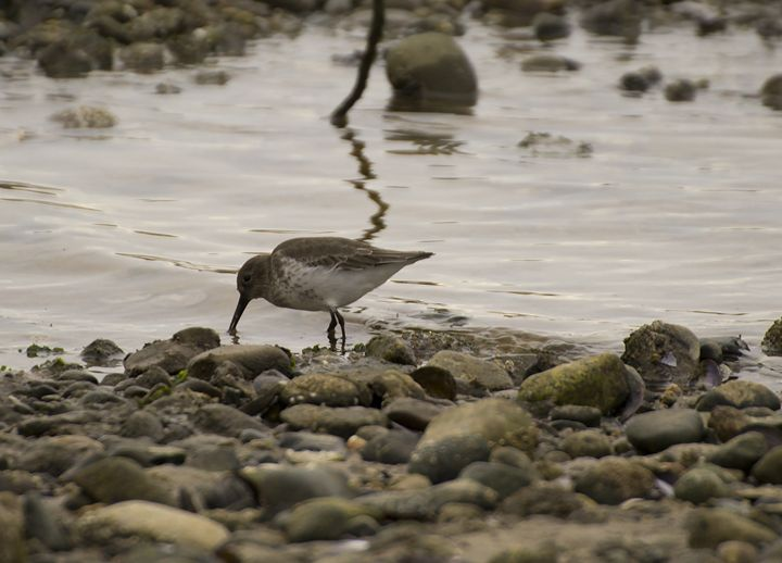 Dunlin On The Shore - Art By Marcina