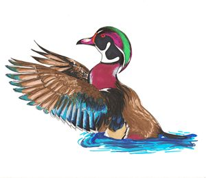 Mister Wood Duck