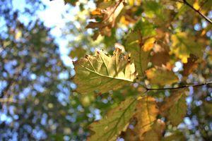 Golden Leaves on Blue Bokeh