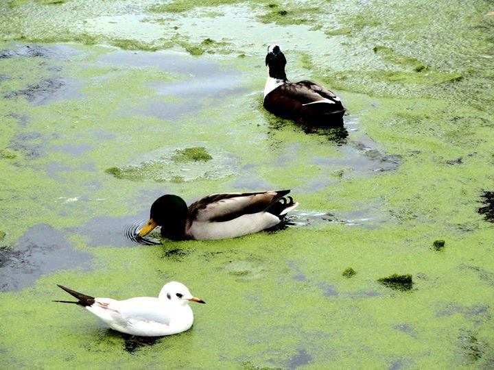 Duck, duck, gull - NCL