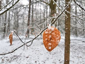 Frosted Leaves in Winter Forest