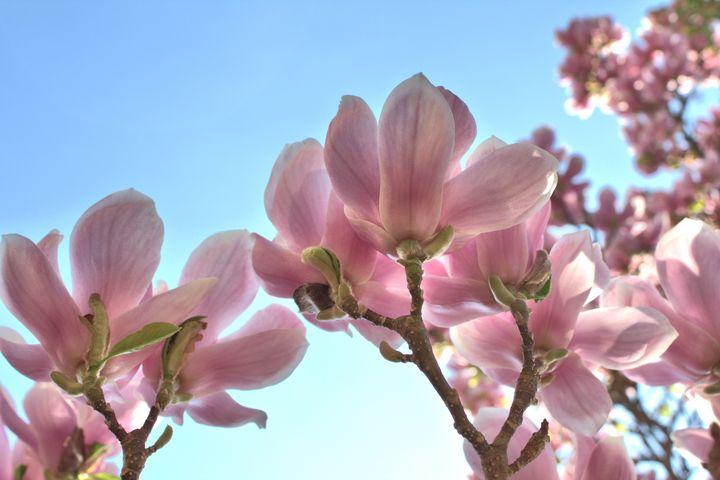 Magnolia Flowers - NCL
