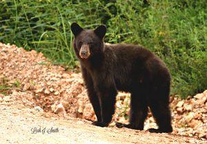 Little Black Bear of Arkansas