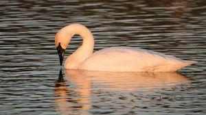 Trumpeter Swan In Pink