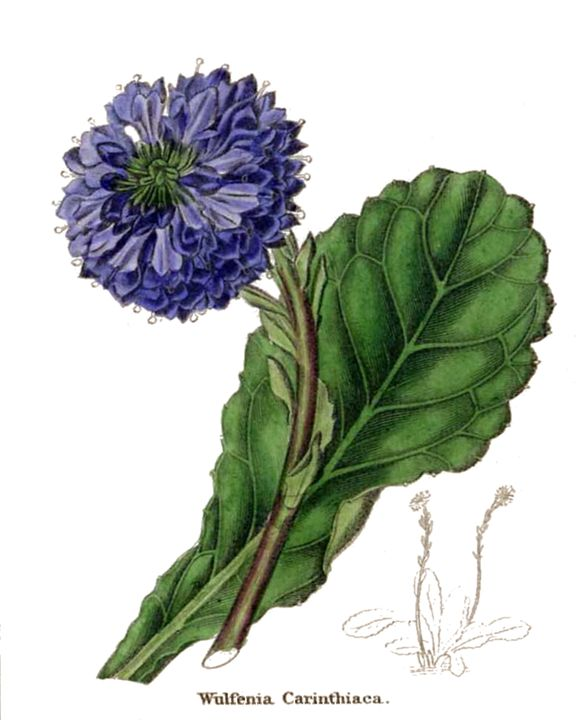 Wulfenia Carinthiaca or Carinthian W - Victorian Botanicals from Botanic Garden