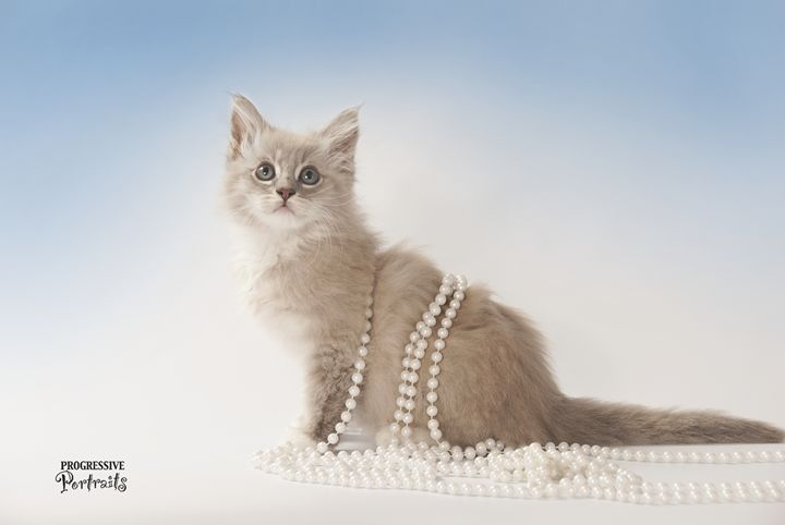 Kitten with Pearls - Progressive Portraits by Deborah Ann Klenzman