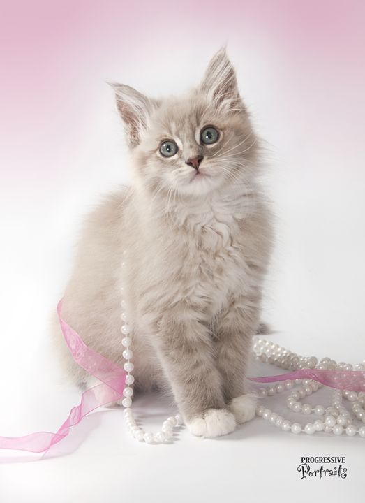 Kitten with Pearls 2 - Progressive Portraits by Deborah Ann Klenzman
