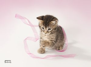 Kitten with Ribbon