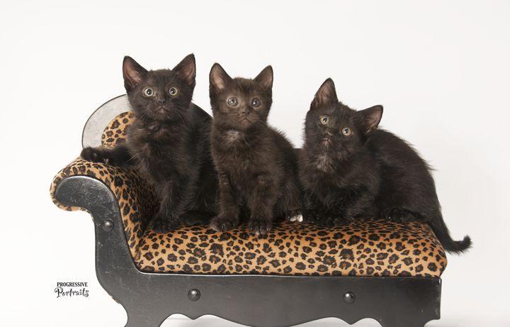 Three Kittens - Progressive Portraits by Deborah Ann Klenzman