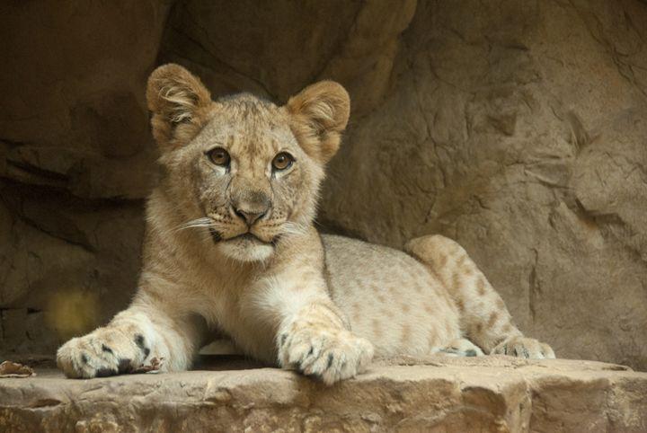 Lion Cub - Progressive Portraits by Deborah Ann Klenzman