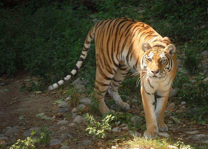 Tiger - Progressive Portraits by Deborah Ann Klenzman