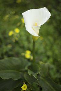 Wild Calla Lily