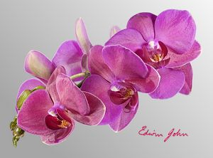Magenta spray of orchid blooms