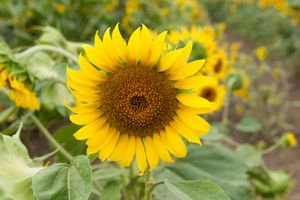 """ Sunflower 2"""