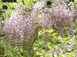 Lavender Wisteria Vine