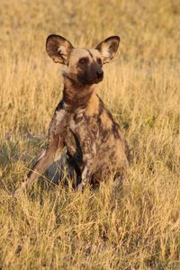 Painted Dog Poses