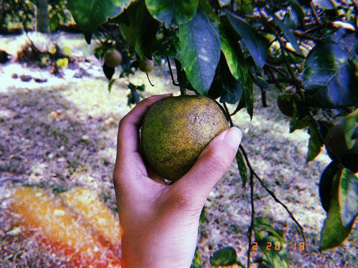 Sour Orange - Toonshe