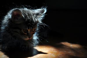 Backlit Kitten II