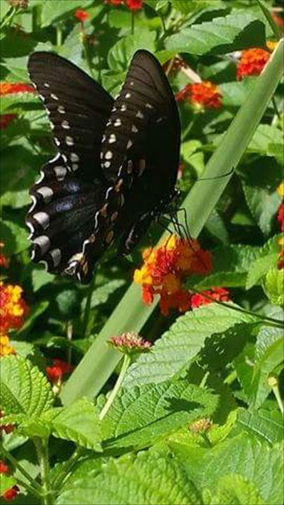 Butterfly - Katelynn danielson