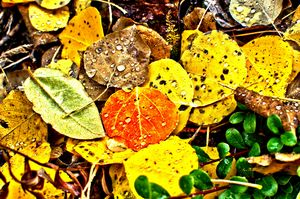 Aspen Leaves and Raindrops..