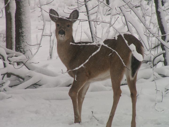 snowy deer trail - tammy  owens