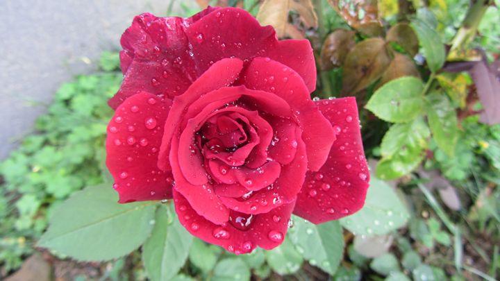 rain drop Rose - tammy  owens