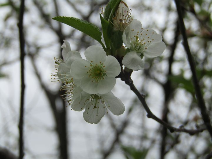 cherry blossoms - tammy  owens