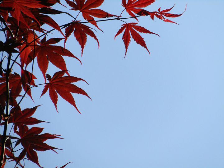 maple leaf frames the sky - tammy  owens